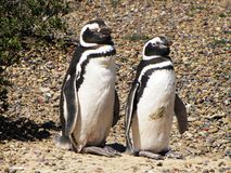 Pair of penguins standing on the ground in Puerto Madryn, Argentina. 