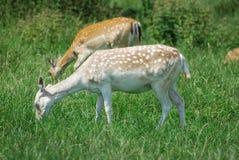 Pere David's deer royalty free stock photo