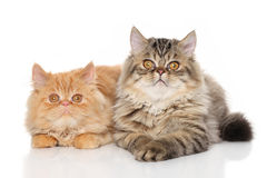 Pair of Persian cats Stock Image