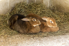 Pair of pet rabbits. Close up of a pair of pet rabbits amongst hay in a barn Stock Images