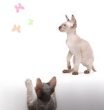 Pair of Peterbald cats, Oriental Shorthair Stock Image