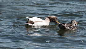 Pair of ducks in the lake Royalty Free Stock Photography
