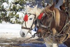 Pair pf Horses Close-up Stock Photography