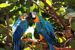 Pair pf Macaw Parrots Royalty Free Stock Image