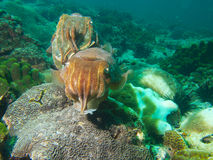 Pair of pharaoh cuttlefish Royalty Free Stock Photos