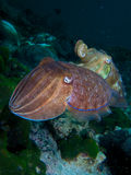Pair of pharaoh cuttlefish Royalty Free Stock Photo