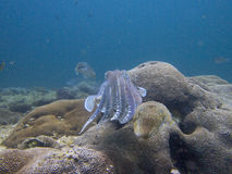 Pair of pharaoh cuttlefish Stock Photography