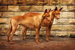 Pair of Pharaoh dogs. Two beautiful Pharaoh dog are together royalty free stock photography