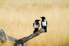 Pair pied crow on dead log Royalty Free Stock Photos