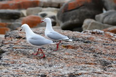 A pair of pigeon Stock Images