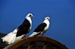 A pair of pigeons Stock Image