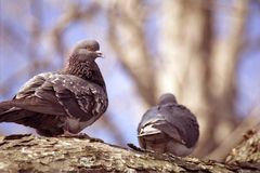 Pair Of Pigeons Royalty Free Stock Photos