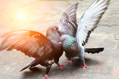 Pair of pigeons fighting Royalty Free Stock Image