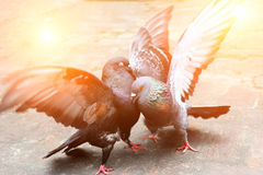 Pair of pigeons fighting Royalty Free Stock Photos