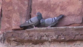 Pair pigeons on  historical wall in India stock video footage
