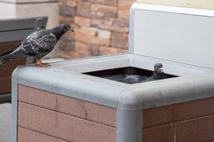 Pigeons looking for food in Los Angeles cafe royalty free stock image