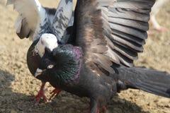 Pair of pigeons loving royalty free stock photos