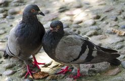 Pair of pigeons. Together on the ground royalty free stock images