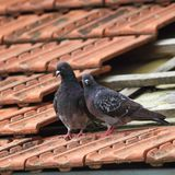 Pair of pigeons on roof Stock Photo