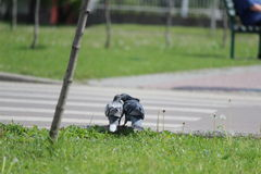 Pair pigeons Royalty Free Stock Photos
