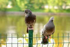 Pair of pigeons Stock Image