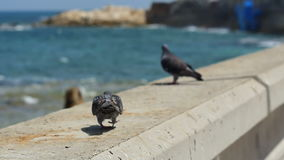 A pair of pigeons sitting by the sea. Professional shot in 4K resolution. 101. You can use it e.g. in your commercial video, business, tourism, travel stock video footage