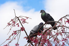 Pair of pigeons sitting in a weeping cherry tree covered in pink flower blossoms. Two pigeons perched atop a weeping cherry tree flowering with pink blossoms Royalty Free Stock Image