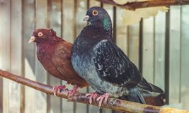 A pigeons. A pair of pigeons standing on the tree Stock Photos