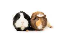 Pair of piggies. Picture of a two Guinea Pigs on a white background stock images