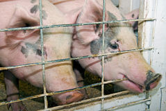 Pair of pigs in pigpen Stock Images