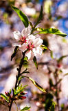 Pair of pink almond flowers on a branch Stock Photo
