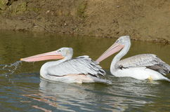 A pair of pink-backed Pelicans Royalty Free Stock Photos