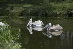 Pair of pink backed pelicans Stock Photography