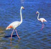 Pair of pink flamingos Stock Photos