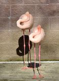 Sleeping Flamingos. A pair of pink flamingos with heads folded back into feathers to nap while standing on long pink legs Stock Images