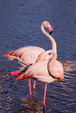 Pair of pink flamingos in park of Camargue. Pair of graceful pink flamingos. Summer evening in the Camargue national park. Rhone Delta, Provence Stock Photos