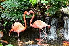 A pair of pink flamingos Stock Images