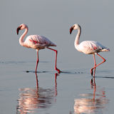 A pair of pink flamingos walk on water. A pair of pink flamingos walks on water, Lake Nakuru, Kenya Stock Photos