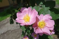 Pair of pink flowers of dogrose. Pair of pink flowers of dog rose stock photos