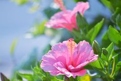 Pair of pink hibiscus flowers Stock Images