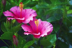 Pair of pink hibiscus flowers Stock Image