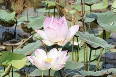 Pair of pink lotus blossoms and leaves stock photos