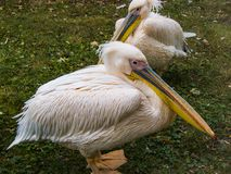 Pair of pink pelicans. Poland. Wroclaw Zoo. Image for thematic sites, photo wallpaper, desktop background royalty free stock photography