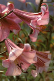 Pair of Pink trumpet flowers Royalty Free Stock Photo