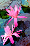 Pair of pink water lilies in a tropical pond Royalty Free Stock Photos