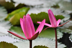 A pair of pink water lily. A pair of water lily with pink color petal and same shape Royalty Free Stock Photos