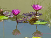 A pair of pink water lilly in a pond Royalty Free Stock Photo