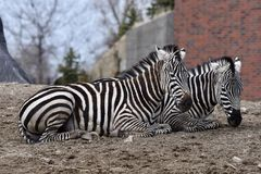 Pair of Plains Zebras. This is an early Spring picture of a pair of Plains Zebras resting in their compound at the Lincoln Park Zoo located in Chicago, Illinois Stock Photos