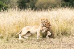 Playful lion cubs in the Masai mara Stock Photography