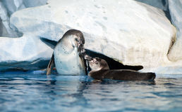 Pair of playful penguins in Moscow oceanarium Stock Photos